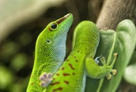 Madagascan lizard