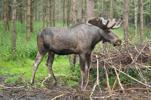 Swedish Moose