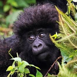 Mountain gorilla, DRC
