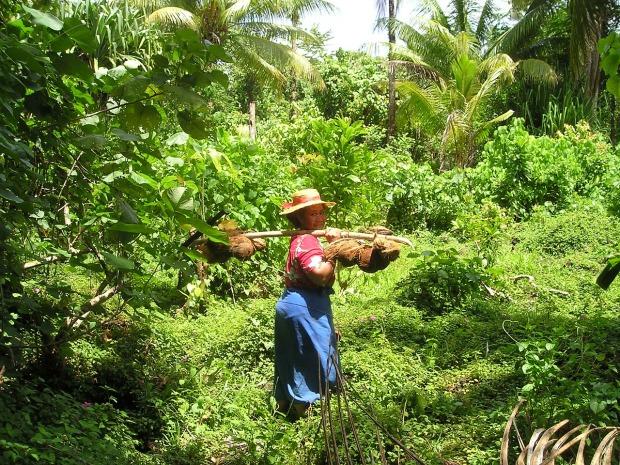 Harvesting coconuts in Samoa