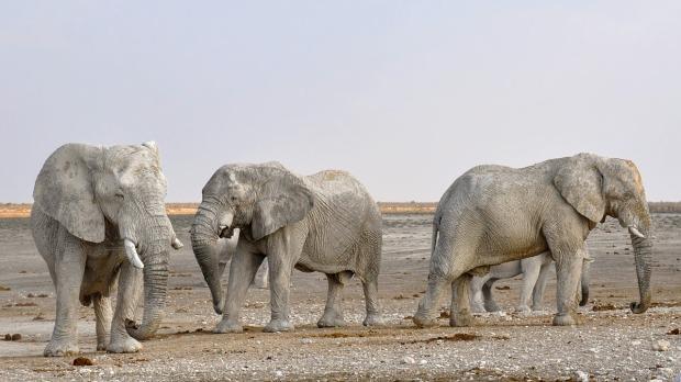 Desert dwelling elephants Namibia