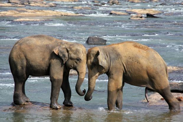 elephants-in-sri-lanka