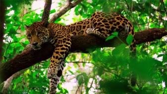 Jaguar at Cockscomb Basin Wildlife Sanctuary