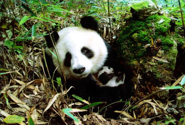 sichuan-giant-panda-sanctuary