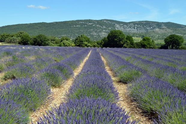 lavender-field-provence