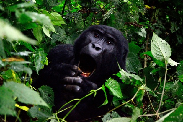 mountain-gorilla-uganda