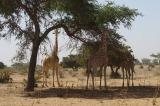 Wild giraffes in Niger