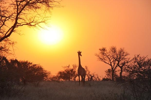 wild-giraffes-in-zambia
